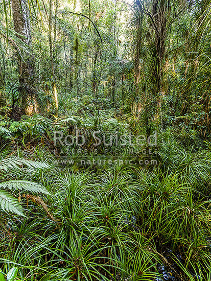Wetland forest amongst kauri tree (Agathis australis) forest, with undergrowth mostly of Kiekie (Freycinetia banksii), Waipoua Forest, Far North District, Northland Region, New Zealand (NZ) stock photo.