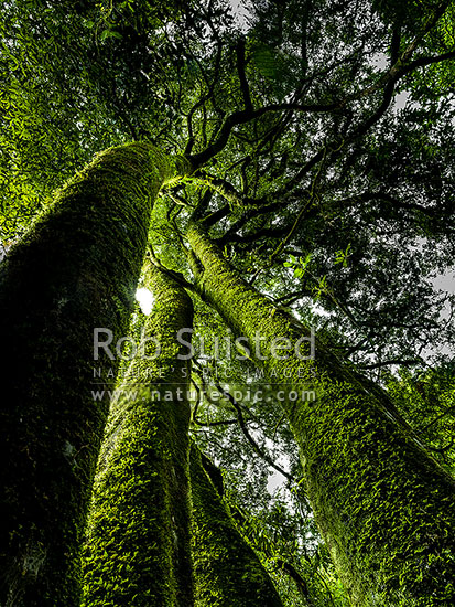 Mossy forest. Large Tawa tree trunks (Beilschmiedia tawa) covered in moss, amongst podocarp rainforest, Pureora Forest Park, Waitomo District, Waikato Region, New Zealand (NZ) stock photo.
