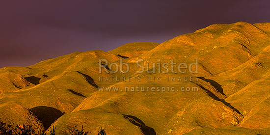 Hills, farmland and grazing sheep in Belmont Regional Park above Cannons Creek headwaters and Takapu Valley, in moody evening sunlight. Panorama, Belmont Regional Park, Porirua City District, Wellington Region, New Zealand (NZ) stock photo.