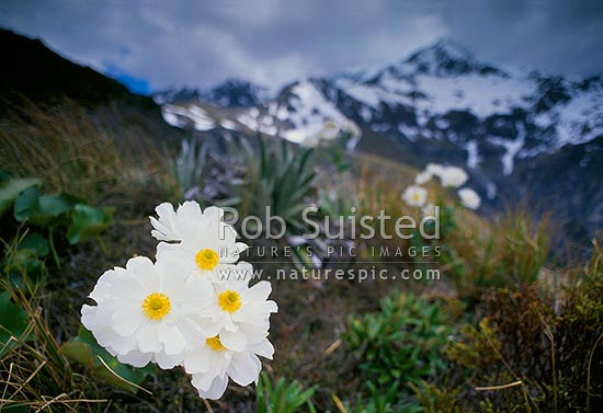 Mount Cook lily (Ranunculus lyallii ) on the Avalanche Peak track - Mount (Mt) Rolleston beyond, Arthur's Pass National Park, Selwyn District, Canterbury Region, New Zealand (NZ) stock photo.
