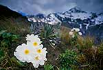 Mt Cook Lily