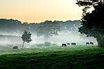 Waikato misty morning, cattle grazing