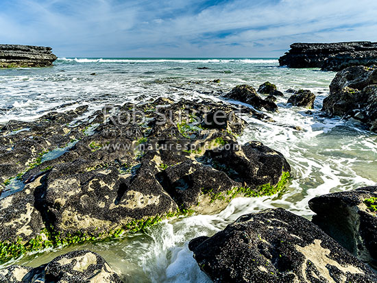 Port Waikato beach amongst a limestone outcrop reef, covered in juvenile blue mussels (Mytilus edulis) and sea lettuce (Ulva sp.), Port Waikato, Franklin District, Waikato Region, New Zealand (NZ) stock photo.