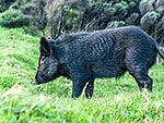 Wild pig on bush edge
