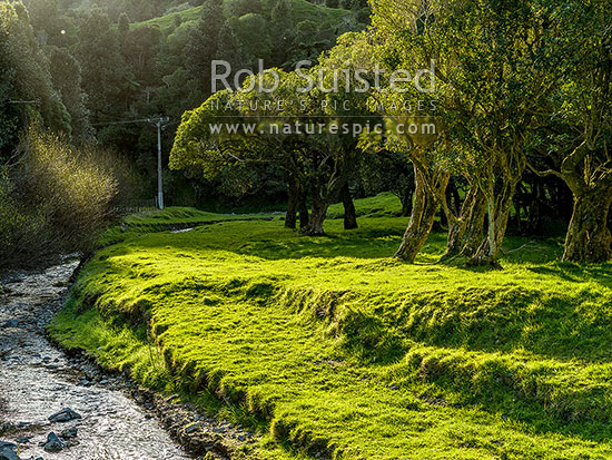 Moonshine Valley stream flowing through lush sunlight farm glades amongst Mahoe trees and forest, Judgeford, Wellington Region, New Zealand (NZ) stock photo.