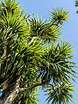 Cabbage tree foliage, NZ native tree
