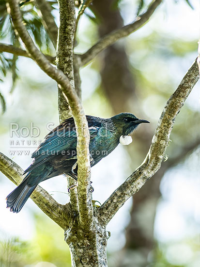 Tui bird (Prosthemadera novaeseelandiae) perching in branches. Native NZ Parson bird, New Zealand (NZ) stock photo.