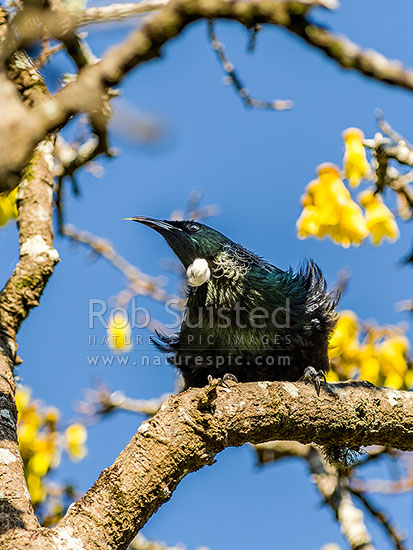 Tui bird (Prosthemadera novaeseelandiae) perching in flowering Kowhai tree in full breeding plummage. Native NZ Parson bird, New Zealand (NZ) stock photo.