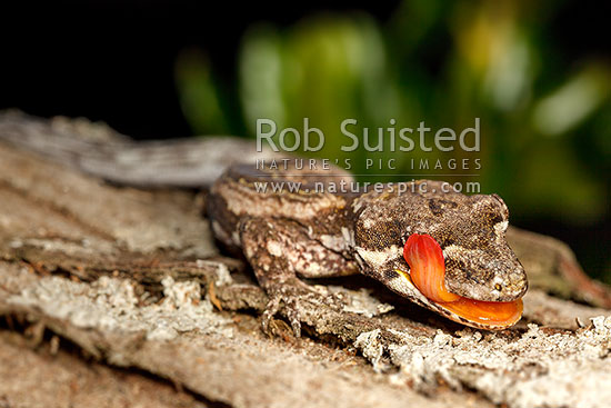 Forest Gecko (Mokopirirakau granulatus), licking eyeball with orange tongue. NZ endemic lizard species (previously Hoplodactylus granulatus), New Zealand (NZ) stock photo.