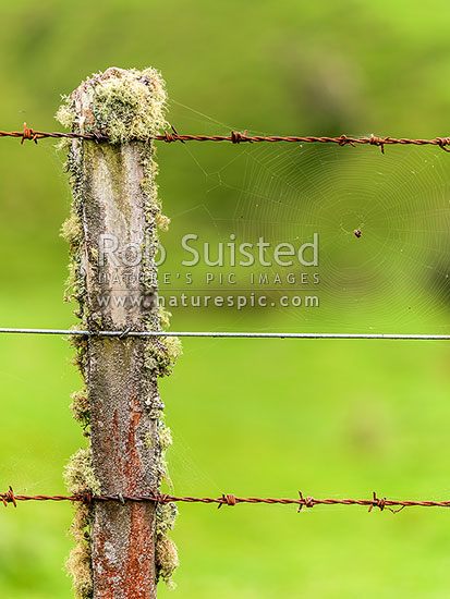 Old farm fence batten, fencing wire, rusty barbed wire, old totara timber batten with lichen growth and spiders cobweb, New Zealand (NZ) stock photo.