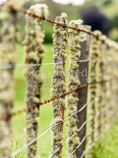 New Zealand wire farm fence with old totara timber battens covered in lichen. Rusty barbed wire. Rural wire fencing, New Zealand (NZ) stock photo.