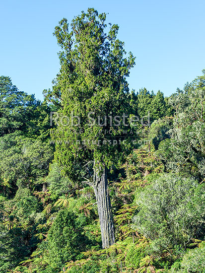 Rimu tree (Dacrydium cupressinum) standing above regenerating native forest. Podocarp. Red Pine, New Zealand (NZ) stock photo.