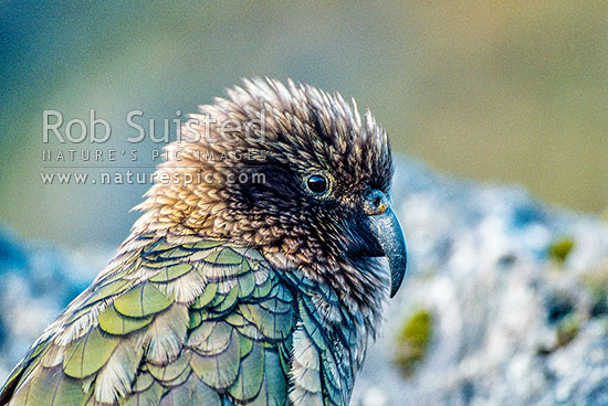 Adult kea (Nestor notabilis), Mt Adams, Westland, New Zealand (NZ) stock photo.