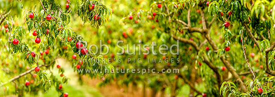 Nectarine fruit on fruit trees. Commercial stone fruit orchard. Panorama, Cromwell, Central Otago District, Otago Region, New Zealand (NZ) stock photo.