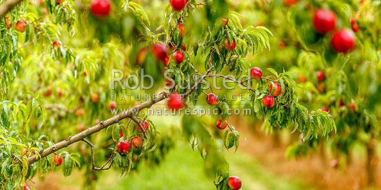 Nectarine fruit ripening on fruit trees in a commercial stone fruit orchard, Cromwell, Central Otago District, Otago Region, New Zealand (NZ) stock photo.