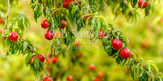 Nectarine fruit on fruit trees. Commercial stone fruit orchard, Cromwell, Central Otago District, Otago Region, New Zealand (NZ) stock photo.