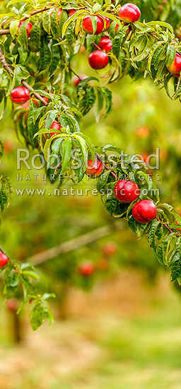 Nectarine fruit ripening on trees in commercial fruit orchard. Vertical panorama, Cromwell, Central Otago District, Otago Region, New Zealand (NZ) stock photo.