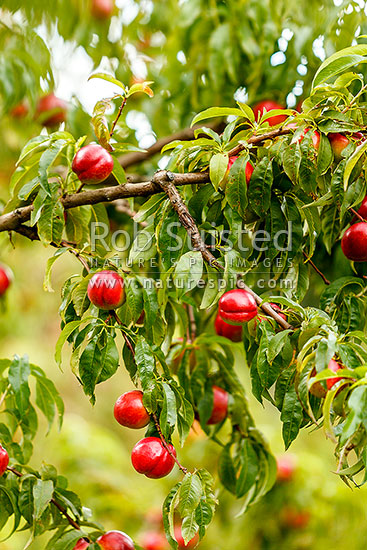Nectarine fruit ripening on trees in commercial fruit orchard, Cromwell, Central Otago District, Otago Region, New Zealand (NZ) stock photo.