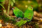 Red-crowned parakeet with young