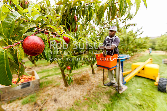 Fruit picking nectarines in commercial stonefruit orchard using mechanical lifter, Cromwell, Central Otago District, Otago Region, New Zealand (NZ) stock photo.