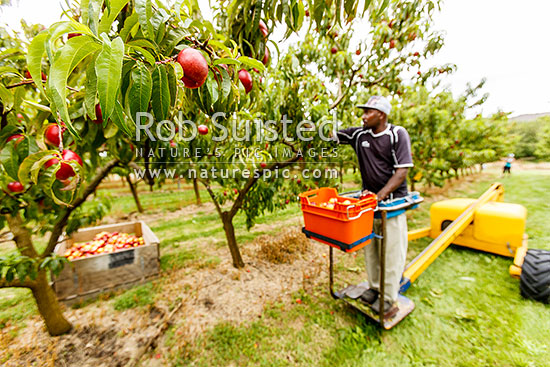 Nectarines being harvested by fruit picker in mechanical ladder. Commercial stonefruit orchard, Cromwell, Central Otago District, Otago Region, New Zealand (NZ) stock photo.