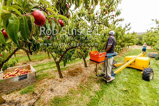 Stonefruit being harvested by fruit picker uding a mechanical ladder. Commercial stonefruit orchard growing nectarines, Cromwell, Central Otago District, Otago Region, New Zealand (NZ) stock photo.