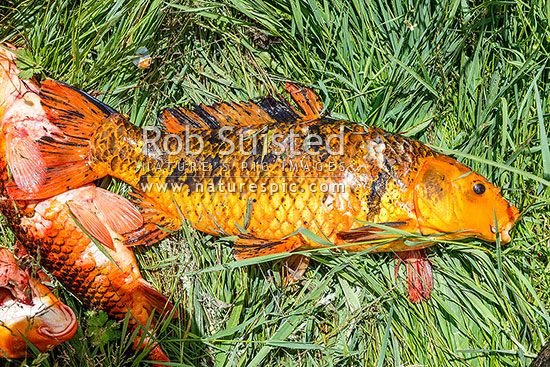 Koi carp cyprinus carpio pest fish removed from the for Cyprinus carpio koi