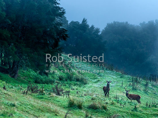 Young red deer stags caught on the bush edge, on a coolmisty autumn morning, New Zealand (NZ) stock photo.