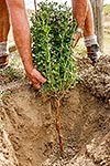 Lucerne plant water seeking tap root