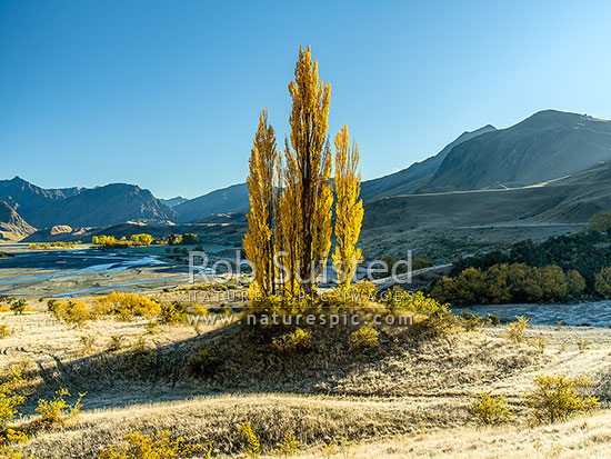 Autumn coloured Poplar trees in the Shotover River Valley. The Branches Station behind, Shotover River Valley, Queenstown Lakes District, Otago Region, New Zealand (NZ) stock photo.