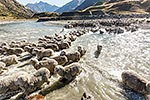 High Country mustering merinos, Otago