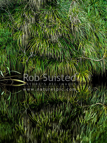 Kiekie (Freycineta banksii) vines overhanging and reflecting in dark tanin stained still river water, South Westland, Westland District, West Coast Region, New Zealand (NZ) stock photo.