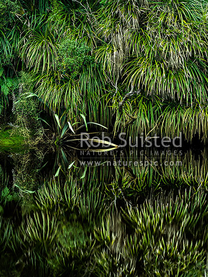 Kiekie (Freycineta banksii) vines and Flax leaves (Phormium tenax) overhanging and reflecting in dark tanin stained still river water, South Westland, Westland District, West Coast Region, New Zealand (NZ) stock photo.
