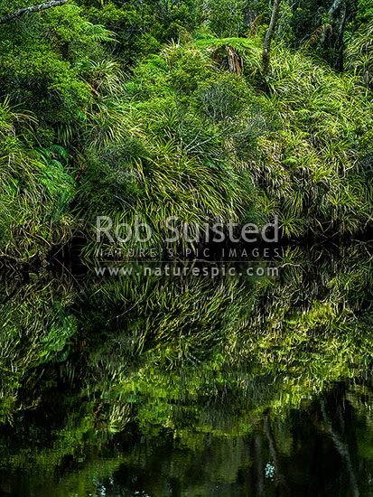 Forest vegetation and Kiekie vines overhanging, and reflected in, still dark tanin coloured river water, South Westland, Westland District, West Coast Region, New Zealand (NZ) stock photo.