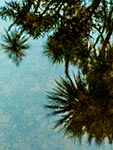 Cabbage trees reflected on water