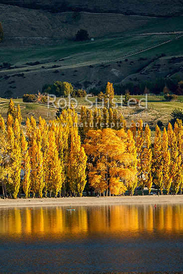 Golden autumn coloured trees lining Lake Wanaka foreshore in the late evening, Wanaka, Queenstown Lakes District, Otago Region, New Zealand (NZ) stock photo.