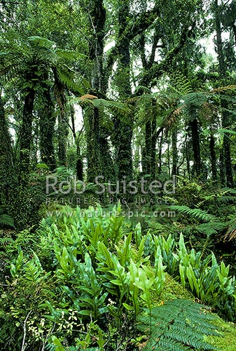 Forest interior at Ship Creek. Hound's tongue fern on log (Microsorum pustulatum, syn Phymatosorus pustulatus; P. diversifolius), South Westland, Westland District, West Coast Region, New Zealand (NZ) stock photo.