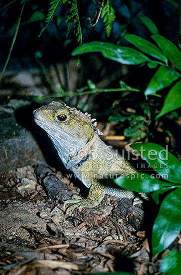 Tuatara (Sphenodon punctatus) shedding skin, New Zealand (NZ) stock photo.