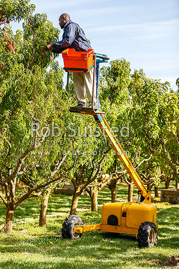 Orchard worker picking stone fruit on mechanical hydraulic picking machine to reach nectarines, Alexandra, Central Otago District, Otago Region, New Zealand (NZ) stock photo.