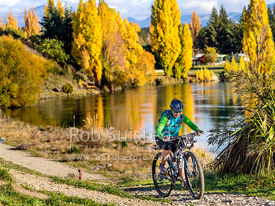 Mountain biker cycling alongside the Clutha River / Mata - Au, with autumn coloured trees reflecting in the calm river, Albert Town, Queenstown Lakes District, Otago Region, New Zealand (NZ) stock photo.