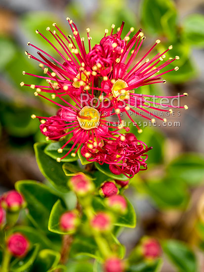Scarlet Rata vine in flower showing yellow pollen covered anthers and red stamens and nector bowl (Metrosideros fulgens, Family: Myrtaceae). Akakura, New Zealand (NZ) stock photo.