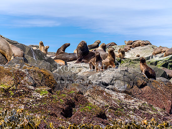 South American sea lions in colony (Otaria flavescens, formerly Otaria byronia), also called the southern sea lion and the Patagonian sea lion. Breeding colony, Cape Horn, Chile stock photo.