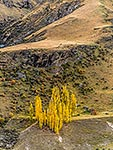Poplar trees, Shotover River
