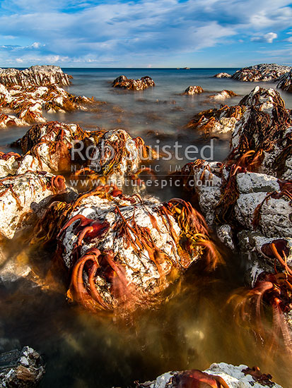 Dying foreshore from the Kaikoura M7.8 earthquake uplift.  Bull Kelp and encrusting algaes well above high tide creates a surreal look to the coastline changed forever. London Hill Fault (?) uplift, Ward, Marlborough District, Marlborough Region, New Zealand (NZ) stock photo.