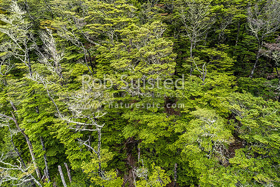 Beech forest canopy and trees seen from above (Lophozonia and Fuscospora species, syn Nothofagus). Aerial view, Marlborough District, Marlborough Region, New Zealand (NZ) stock photo.