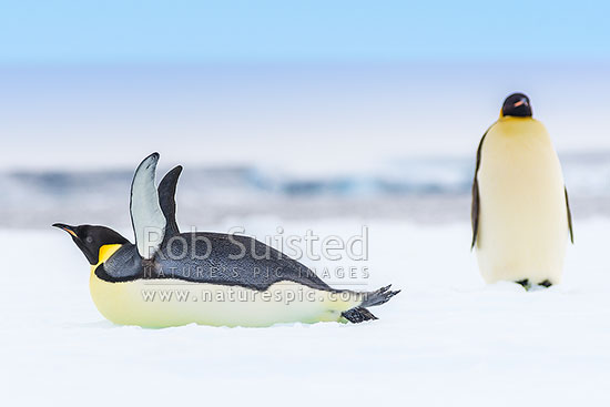 Emperor Penguins (Aptenodytes forsteri), with penguin lying on snow flapping flippers, Ross Sea, Antarctica Region, Antarctica stock photo.