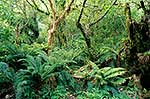Fiordland rainforest interior