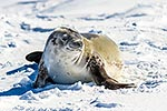 Crabeater Seal on pack ice