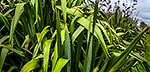 Flax plants, leaves and bushes