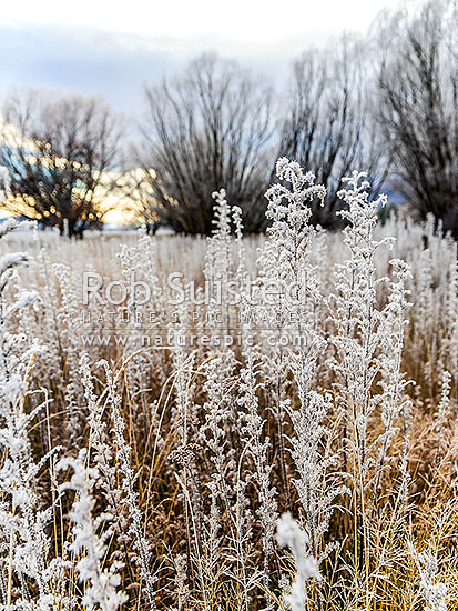 Winter hoar frost on vegatation on the Ahuriri River flats. Blue borage flower heads frozen with ice crystals, Omarama, Waitaki District, Canterbury Region, New Zealand (NZ) stock photo.